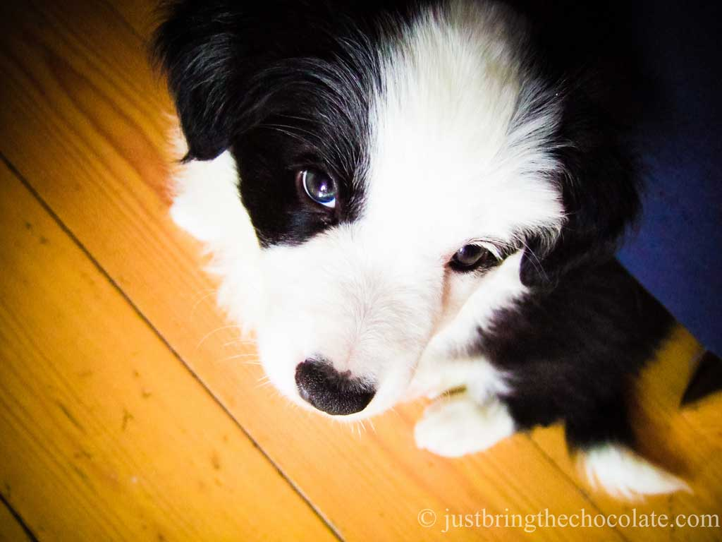 Chloe the border collie