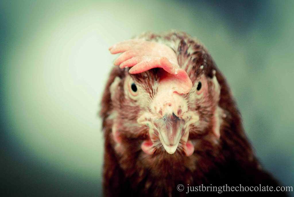 Ex-battery hen
