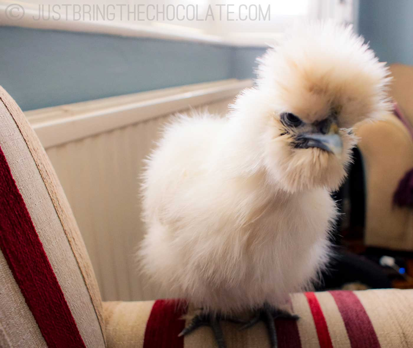white bearded silkie