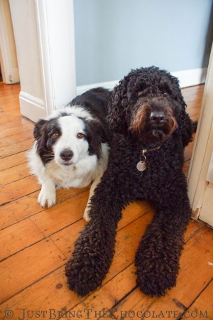 Border collie and labradoodle look guilty for being so smelly