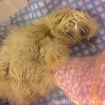 silkie chick just hatched